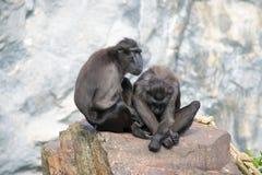 夫妇猴子 免版税库存照片
