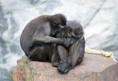 夫妇猴子 图库摄影