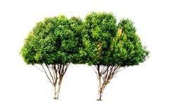 夫妇绿色留给树被隔绝 免版税库存照片
