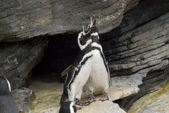 夫妇magellanic企鹅呼喊 库存照片