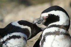 夫妇magellanic企鹅 库存照片