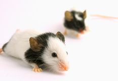 夫妇mouses 免版税图库摄影