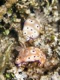 夫妇nudibranchs 免版税库存照片