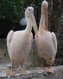 夫妇pelikun 库存照片
