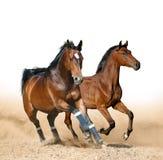 失去控制海湾嬉戏的马 免版税库存照片