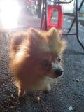 失去的小狗 库存照片