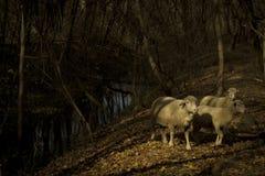 失去的绵羊在森林里 免版税图库摄影