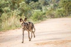 失去控制非洲的狗 免版税库存照片