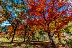 失去的槭树国家公园,得克萨斯明亮的橙色秋天叶子  免版税库存图片