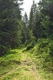 失去的道路在具球果森林里 库存图片