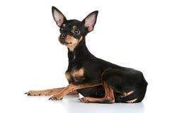 头发的小狗俄国光滑狗玩具 图库摄影