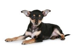 头发的小狗俄国光滑狗玩具 免版税库存照片