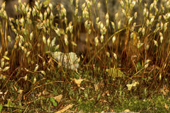 头发盖帽青苔孢子体在萨莫斯,康涅狄格 库存照片
