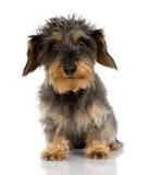 头发粗糙的达克斯猎犬 库存照片