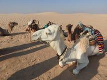 头巾的妇女,面孔是闭合的,与一头骆驼在撒哈拉大沙漠 免版税库存照片