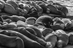 39头弗朗西斯科狮子码头圣海运 免版税库存照片