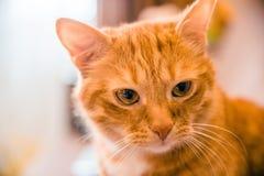 头是与黄色眼睛的一只红色猫 图库摄影