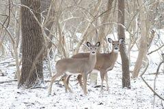 2头白尾鹿在积雪的森林 库存照片