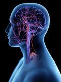 头的脉管系统 库存例证