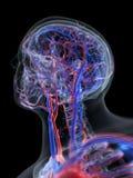 头的脉管系统 向量例证