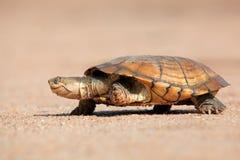 头盔状的水龟 免版税库存图片