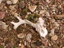 头骨在岩石河床上  免版税库存照片