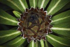 夹竹桃叶子普罗梯亚木普罗梯亚木neriifolia在特写镜头的装饰灯泡 免版税库存图片