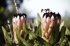 夹竹桃叶子普罗梯亚木普罗梯亚木neriifolia在盛开开花 免版税库存图片