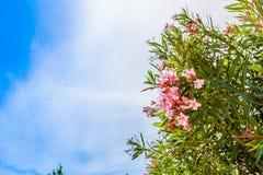 夹竹桃和蓝色海在撒丁岛 免版税图库摄影