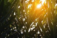 夹竹桃夹竹桃叶子和阳光 图库摄影