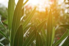 夹竹桃夹竹桃叶子和阳光 库存图片