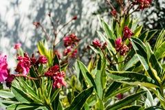夹竹桃夹竹桃夹竹桃科桃红色花叶子马胃蝇蛆的植物关闭 免版税库存图片
