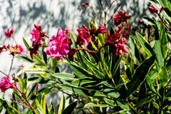 夹竹桃夹竹桃夹竹桃科桃红色花叶子马胃蝇蛆的植物关闭 库存照片