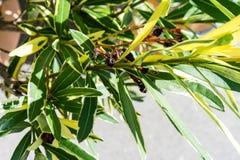 夹竹桃夹竹桃夹竹桃科桃红色花叶子马胃蝇蛆的植物关闭 免版税库存照片
