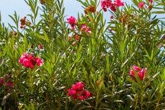 夹竹桃夹竹桃,桃红色夹竹桃开花的灌木  库存图片