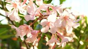 夹竹桃拉丁名字夹竹桃夹竹桃开花细节宏观视图  绽放的Beautifil植物与白色和粉色 股票视频