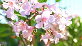 夹竹桃拉丁名字夹竹桃夹竹桃开花细节宏观视图  绽放的Beautifil植物与白色和粉色 股票录像
