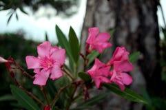 夹竹桃植物的明亮的桃红色花被弄脏的背景的 免版税库存照片