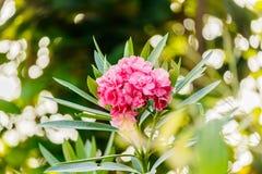 夹竹桃灌木桃红色与叶子的玫瑰花 免版税图库摄影