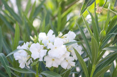 夹竹桃灌木 明亮的白色夹竹桃花 夹竹桃在开花的夹竹桃树 图库摄影