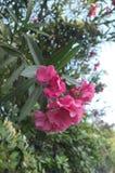 夹竹桃的花和叶子 免版税图库摄影