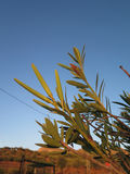 夹竹桃种子荚 库存图片