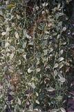 夹竹桃科植物是epiphytes当地对中国、印度和东南亚热带地区  库存照片