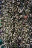 夹竹桃科植物是epiphytes当地对中国、印度和东南亚,垂直的装饰热带地区  库存图片