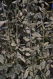 夹竹桃科植物是epiphytes当地对中国、印度和东南亚,垂直的装饰热带地区  库存照片