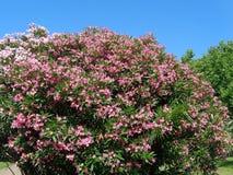 夹竹桃,反对蓝天的开花的灌木桃红色花  库存图片