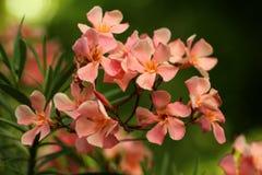 夹竹桃-在一个植物园的夹竹桃夹竹桃花  免版税库存图片