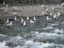 夺走被放弃的鱼骨骼的海鸥在科珀河 免版税图库摄影