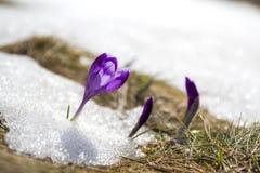 奇妙开花的令人惊讶的第一明亮的紫罗兰色crocu特写镜头  库存图片