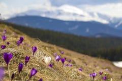 奇妙开花的令人惊讶的第一朵明亮的紫罗兰美丽的景色  免版税库存图片